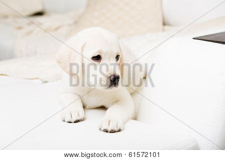 Close up of puppy of labrador lying on the white leather sofa