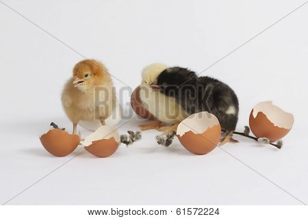 Colored Chicks (kolorowe Piskl?ta)