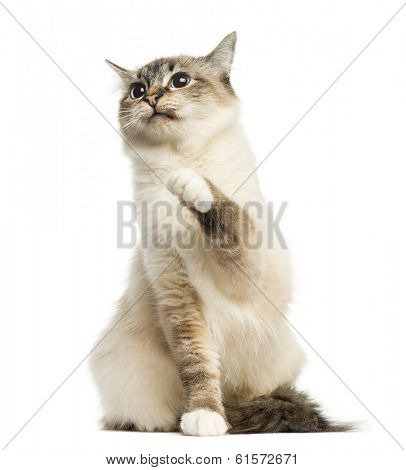 Front view of a Birman cat sitting, pawing up, 1 year old, isolated on white
