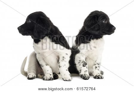 Stabyhoun puppies ignoring each other, isolated on white