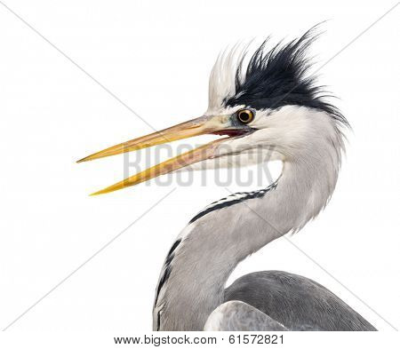 Close-up of a Grey Heron's profile, beak opened, Ardea cinerea, isolated on white