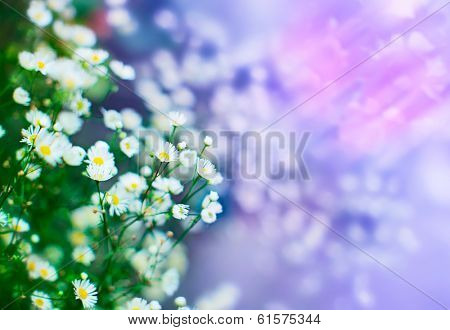 Camomile flowers, shallow depth of field shot with magic colors and bokeh