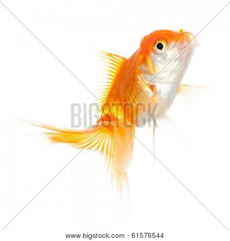 Close up of swimming shiny fish, isolated on white. Concept of wishes fulfilment and natural beauty