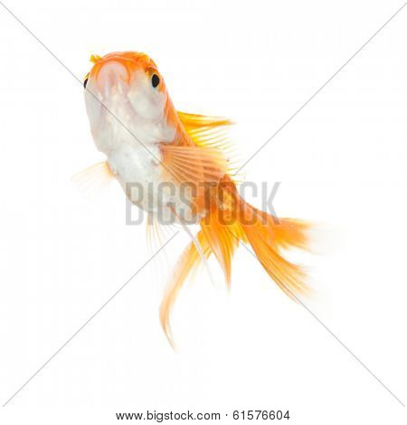 Close up of swimming yellow fish, isolated. Concept of wish fulfilment and natural beauty