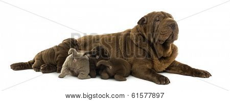 Shar Pei mom lying down, breastfeeding her puppies, isolated on white