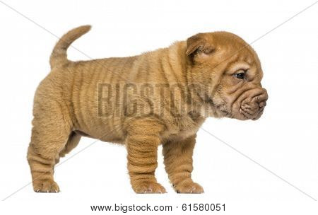 Side view of a Shar Pei puppy standing, isolated on white