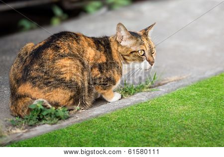 Asian Brown Cat