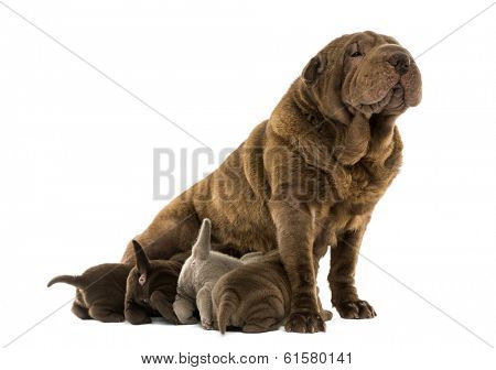 Shar Pei mom sitting, breastfeeding her puppies, isolated on white