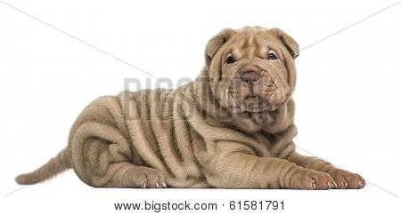 Side view of a Shar Pei puppy lying, looking at the camera, isolated on white