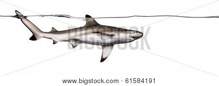 Blacktip reef shark swimming at the surface of the water, viewed from below, Carcharhinus melanopterus, isolated on white