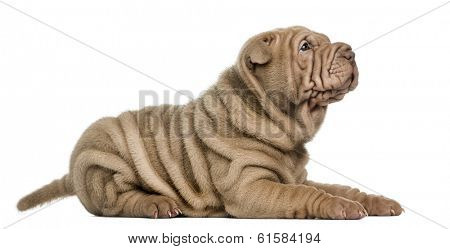 Side view of a Shar Pei puppy lying, looking up, isolated on white