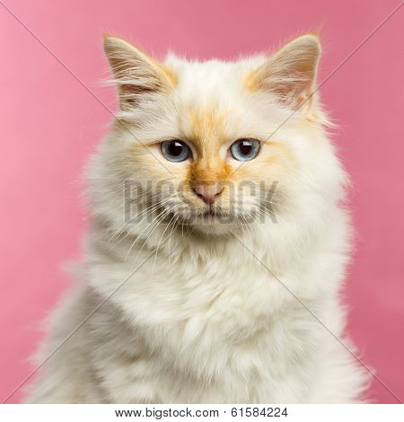Close-up of a Birman cat, 5 months old, on a pink background