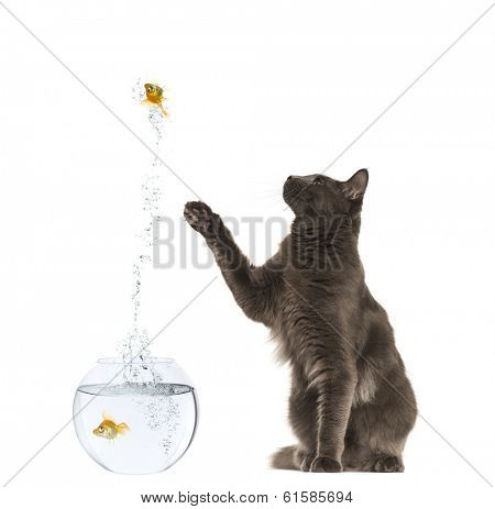 Maine Coon reaching at a goldfish jumping out of its aquarium, 1 year old, isolated on white