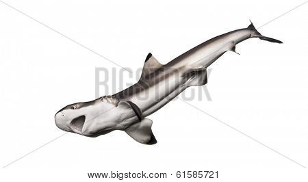 Blacktip reef shark hunting viewed from below, Carcharhinus melanopterus, isolated on white