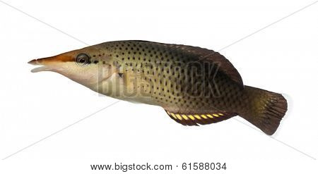 Side view of a Bird wrasse female, Gomphosus varius, isolated on white