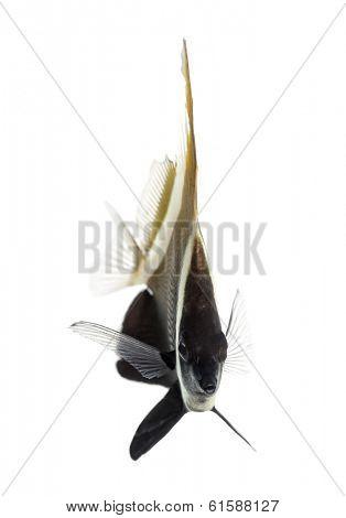 Horned Bannerfish, Heniochus varius, isolated on white