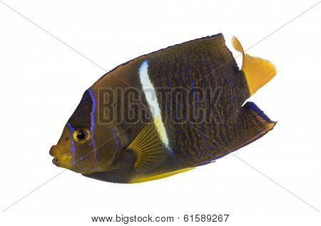 Side view of a Passer Angelfish, Holacanthus passer, isolated on white