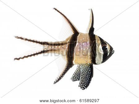 Side view of a Banggai Cardinalfish, Pterapogon kauderni, isolated on white