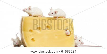 Group of albino white mice around a big piece of cheese, Mus musculus, isolated on white