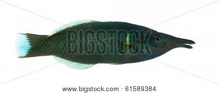 Side view of a Bird wrasse male, Gomphosus varius, isolated on white
