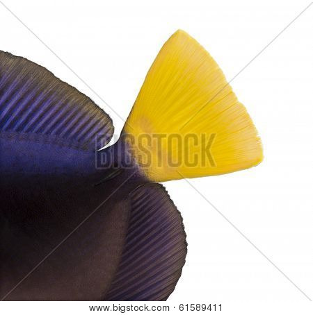 Close-up of a Purple tang's caudal fin, Zebrasoma xanthurum, isolated on white