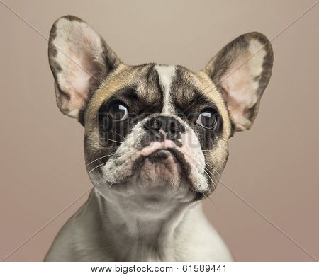 Close-up of a French Bulldog, on beige background