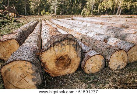 Logging. Felled Pine Logs Piled Firebreak