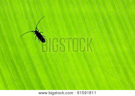 Little black beetle sitting on fresh green leaf, wild nature of Costa Rica, small insect isolated on floral background, wildlife concept