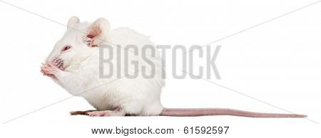 Side view of an albino white mouse having a wash, Mus musculus, isolated on white