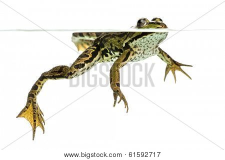 Edible Frog swimming at the surface, viewed from below, Pelophylax kl. esculentus, isolated on white