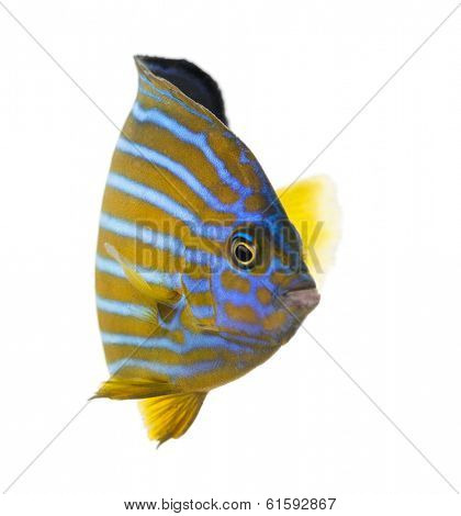 Northern Angelfish, Chaetodontoplus septentrionalis, isolated on white
