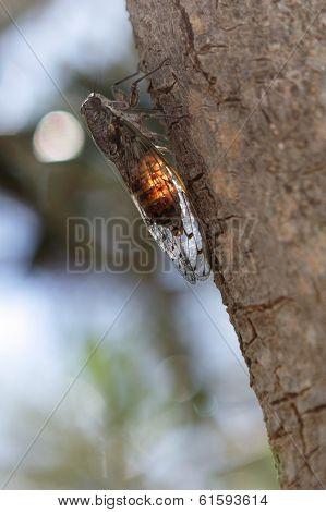 Locust On The Tree