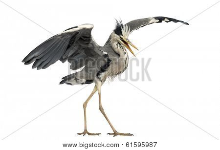 Grey Heron doing a mating dance, Ardea Cinerea, 5 years old, isolated on white