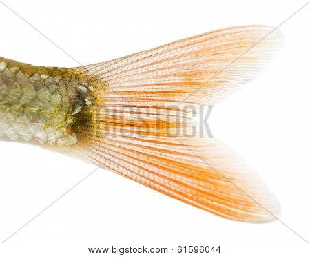 Close-up of a Common roach's caudal fin, Rutilus rutilus, isolated on white
