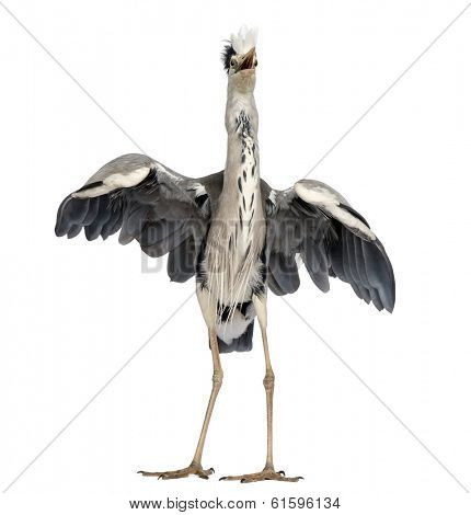 Front view of an Grey Heron doing a mating dance, Ardea Cinerea, 5 years old, isolated on white