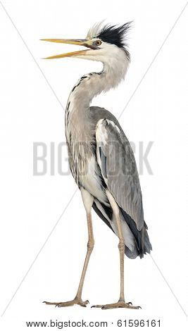 Angry Grey Heron standing, screaming, Ardea Cinerea, 5 years old, isolated on white