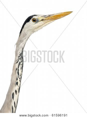 Close-up of a Grey Heron's profile, Ardea Cinerea, 5 years old, isolated on white