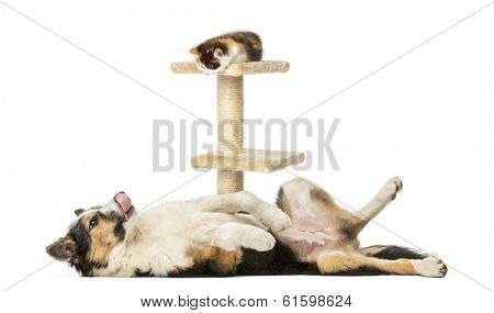 Side view of a Border collie lying on its back, submissive, looking at a kitten on a cat tree, isolated on white