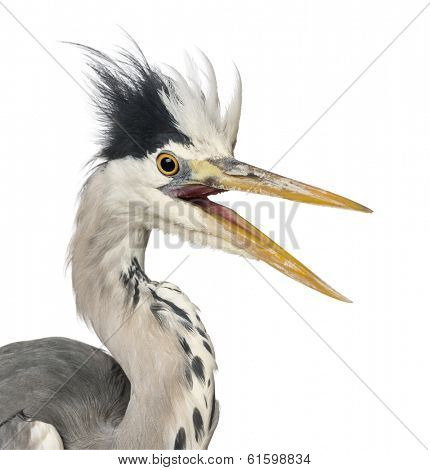Close-up of a Grey Heron upset, screaming, Ardea Cinerea, 5 years old, isolated on white