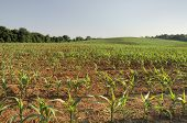 stock photo of ethanol  - Freshly planted spring corn  - JPG
