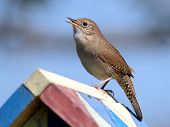 House Wren on a Birdhouse