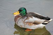 foto of male mallard  - The Mallard - JPG