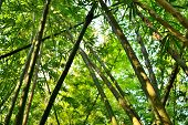 picture of glorious  - bamboo forest with glorious morning sunshine background - JPG