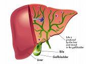 picture of liver  - medical illustration that represents the production of bile from the liver - JPG