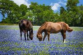 picture of bluebonnets  - Two horses grazing in the bluebonnet pasture in Texas spring - JPG