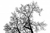 stock photo of alder-tree  - Black Alder tree top branches silhouette - JPG