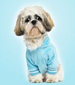 Dressed-up Shih tzu sitting, looking sad, 10 months old, on blue background
