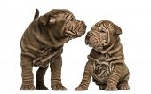 picture of shar-pei puppy  - Shar Pei puppies sniffing each other - JPG