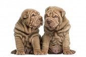 stock photo of shar-pei puppy  - Two Shar Pei puppies sitting together - JPG