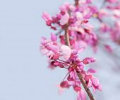 picture of judas  - Closeup of a blooming twig of an Eastern Redbud tree against blue sky - JPG